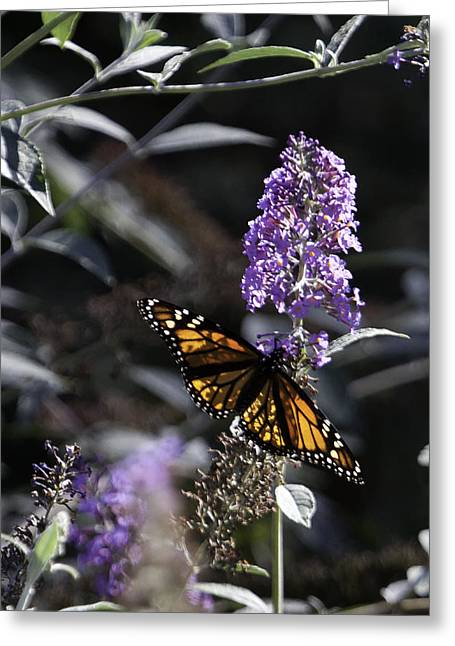 Floral Photographs Greeting Cards - Monarch in Backlighting Greeting Card by Rob Travis