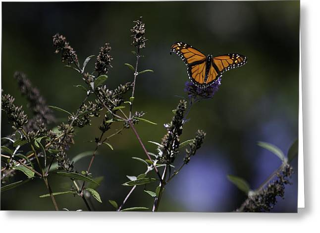 Monarch in Morning Light Greeting Card by Rob Travis