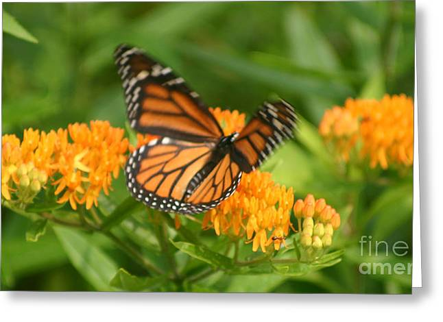 Reflections Of Infinity Llc Greeting Cards - Monarch in Motion Greeting Card by Robert E Alter Reflections of Infinity