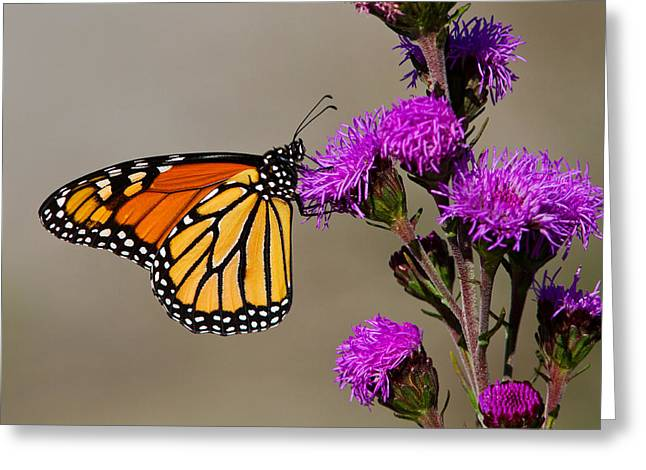 Monarch Greeting Card by Mircea Costina Photography