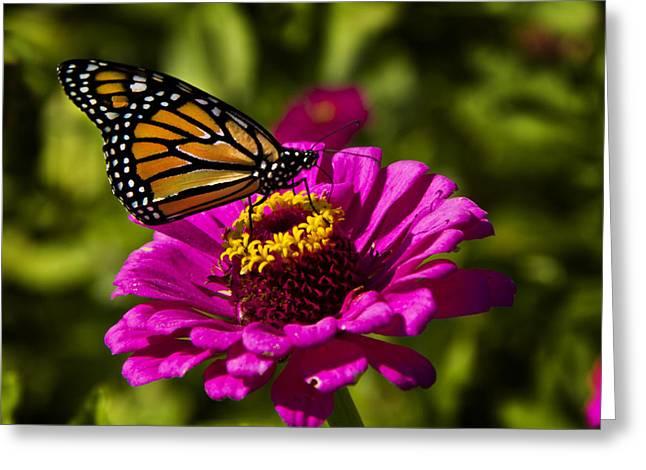 Monarch Greeting Cards - Monarch Greeting Card by Phil Koch