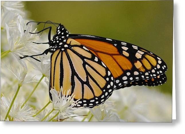 Monarch  Greeting Card by Rodney Campbell