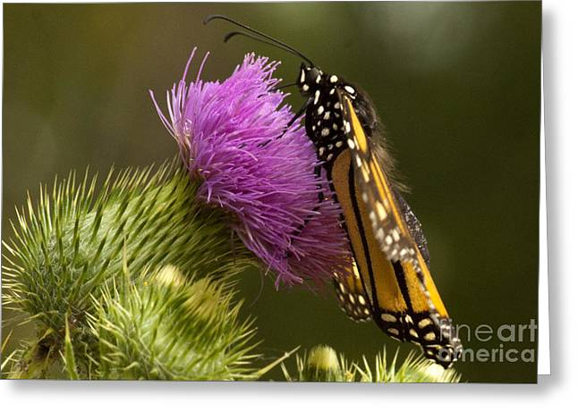 Monarch Thistle Munching Greeting Card by Darleen Stry