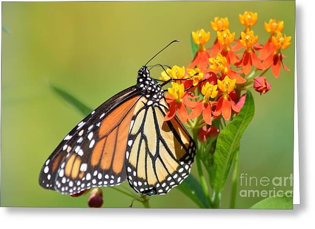 Antena Greeting Cards - Monarchs Polka Dots Greeting Card by Kathy Gibbons