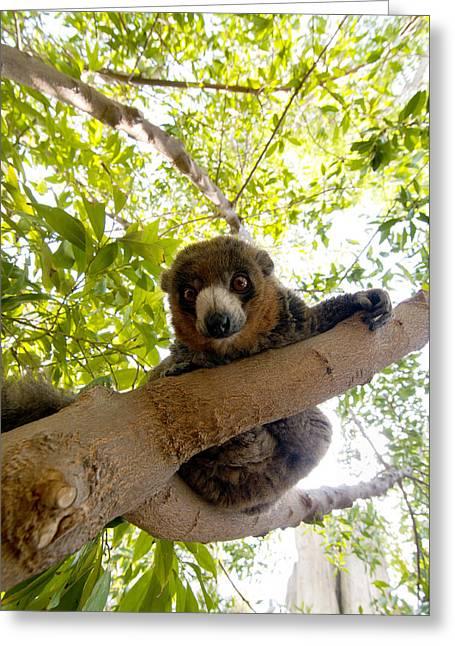 Lemur Greeting Cards - Mongoose lemur Greeting Card by Fabrizio Troiani