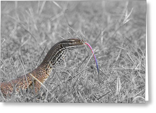 Goanna Greeting Cards - Monitor Lizard Greeting Card by Douglas Barnard