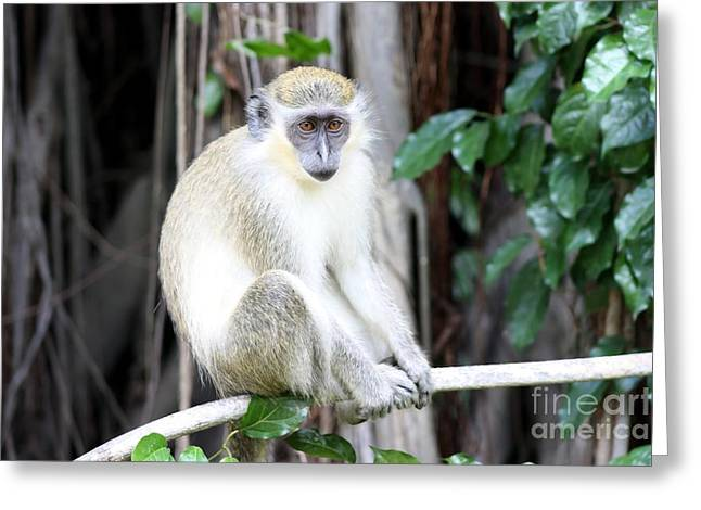 Fig Trees Greeting Cards - Monkey on a Tree Greeting Card by Sophie Vigneault