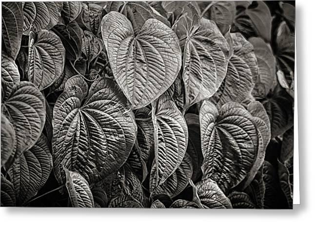 Vine Leaves Photographs Greeting Cards - Monkey Vine Greeting Card by Brenda Bryant
