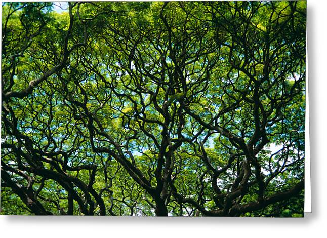 Monkeypod Canopy Greeting Card by Peter French - Printscapes