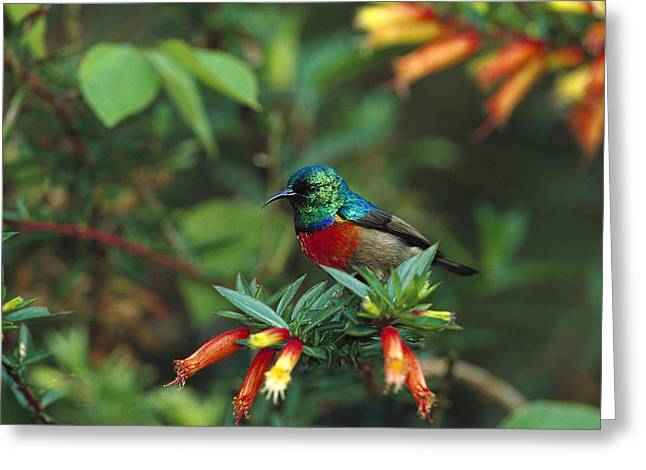 Sunbird Greeting Cards - Montane Double-collared Sunbird Greeting Card by Cyril Ruoso