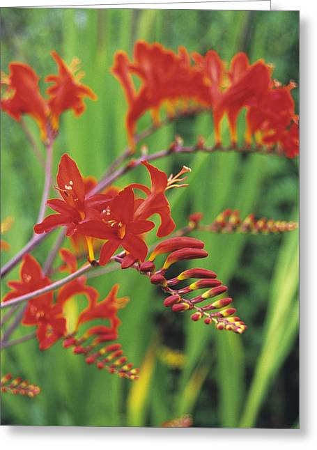 Crocosmia Greeting Cards - Montbretia Flowers Greeting Card by Duncan Smith
