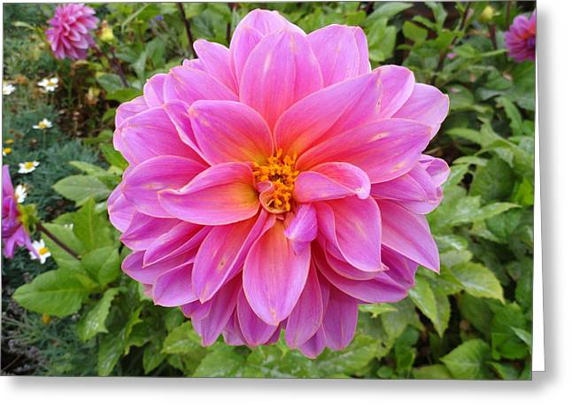 Monterey Pink Greeting Card by Robert Meyers-Lussier