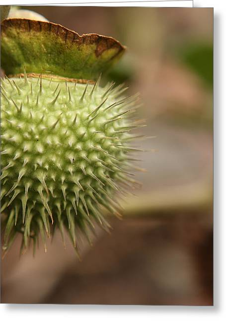 Plant The Seed Greeting Cards - Moon Flower Seed Pod Greeting Card by David Paul Murray