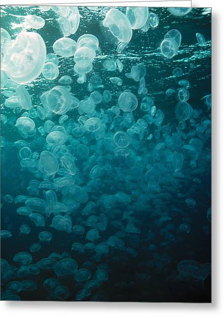 Cnidaria Greeting Cards - Moon Jellyfish Greeting Card by Peter Scoones