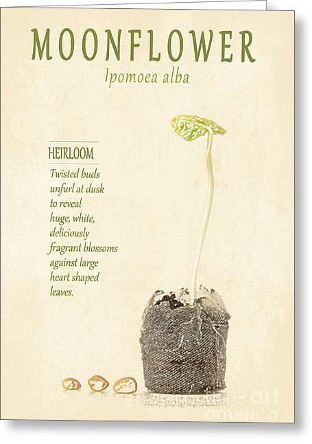 Moonflower Vine Seedling  Greeting Card by Anne Kitzman