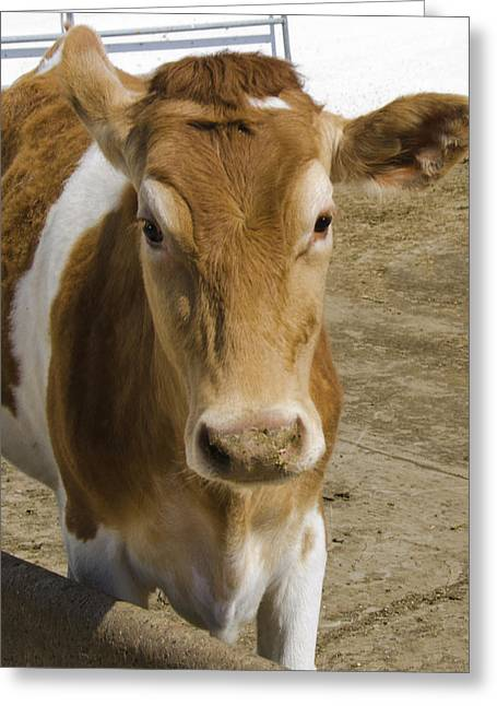 Barn Yard Greeting Cards - Moooing Greeting Card by LeeAnn McLaneGoetz McLaneGoetzStudioLLCcom