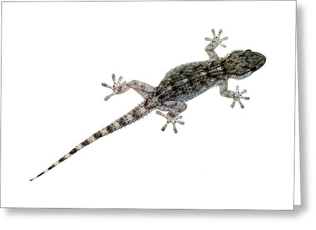 Zoology Greeting Cards - Moorish Gecko Greeting Card by Chris Hellier