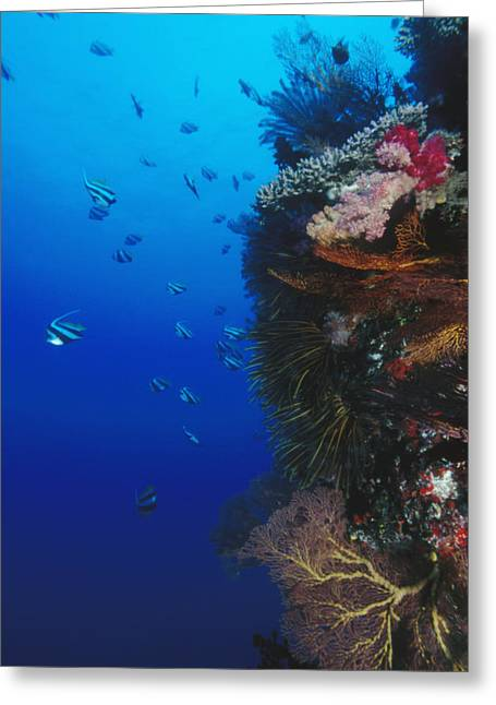 Coral Colors Greeting Cards - Moorish Idol Fish Swimming Next Greeting Card by James Forte