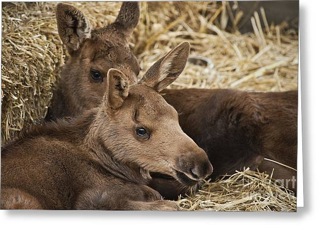 Ak Greeting Cards - Moose Calves Greeting Card by John Greim