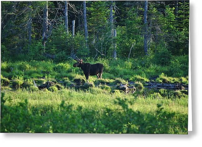 Jeff Moose Greeting Cards - Moose in Clearing Greeting Card by Jeff Moose