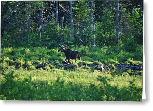 Jeff Moose Greeting Cards - Moose in Maine Greeting Card by Jeff Moose