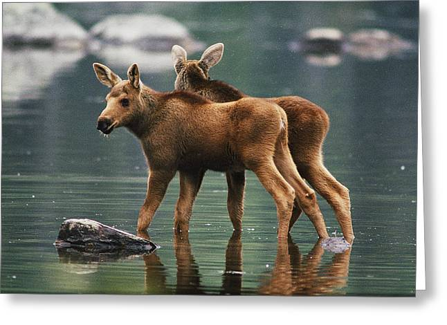 Juvenile Mammals Greeting Cards - Moose Twins Alces Alces Americana Greeting Card by Phil Schermeister