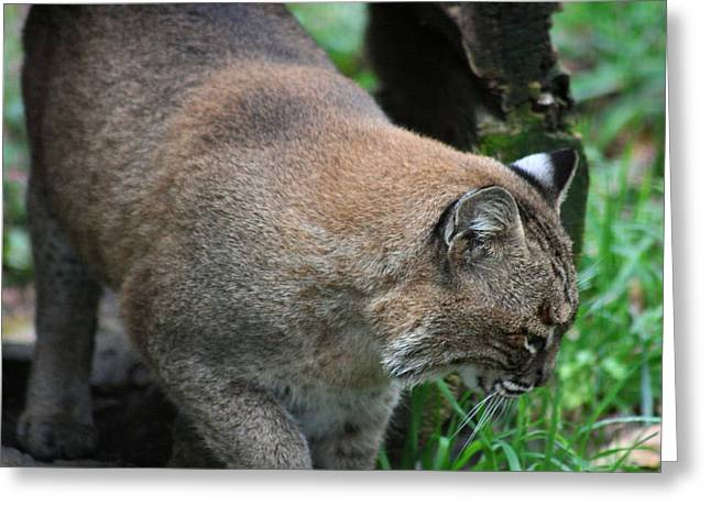 Bobcats Photographs Greeting Cards - More Fun To Walk Through Greeting Card by David Dunham