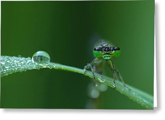 Damselfly Greeting Cards - Morning Damselfly Greeting Card by Mircea Costina Photography