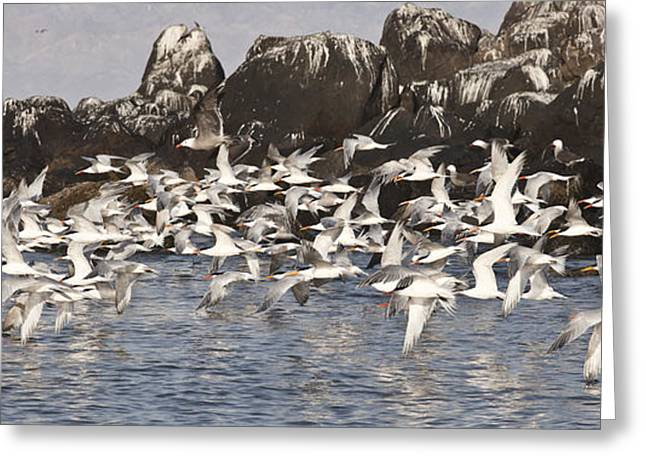 Tern Greeting Cards - Morning Flight Greeting Card by John Terry