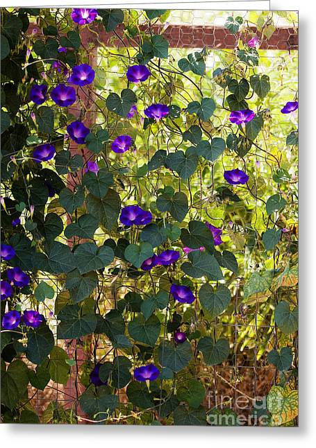 Trellis Greeting Cards - Morning Glories Greeting Card by Margie Hurwich