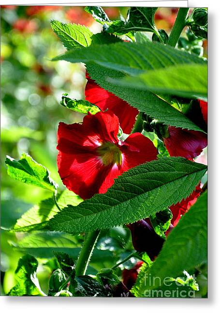 Searcy Greeting Cards - Morning Hollyhock Greeting Card by Tanya  Searcy