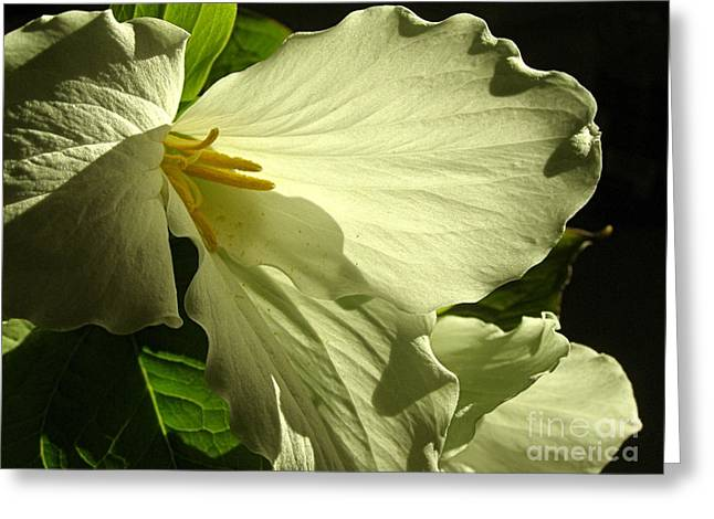 Sunlight On Flowers Greeting Cards - Morning Light - Trillium Greeting Card by Angie Rea