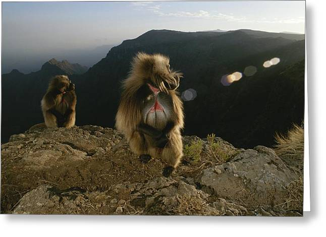 Remote Cameras Greeting Cards - Morning Light Shines On Two Gelada Greeting Card by Michael Nichols