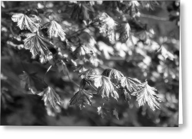 Gleem Greeting Cards - Morning Maple Shimmer in Black and White Greeting Card by Mark J Seefeldt