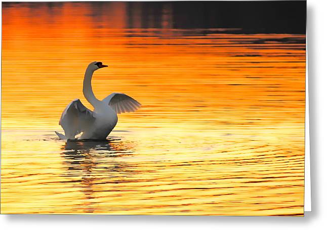 Swans At Dawn Greeting Cards - Morning Stretch Greeting Card by Randall Branham