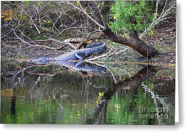 Florida Gators Greeting Cards - Morris Bridge Gator Greeting Card by Carol Groenen