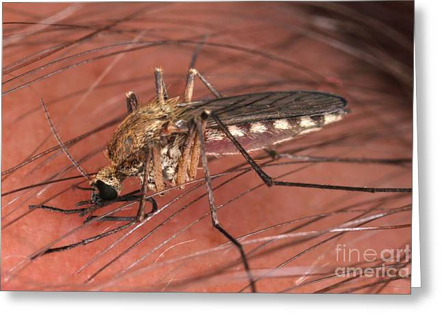 Sucking Greeting Cards - Mosquito Biting A Human Greeting Card by Ted Kinsman