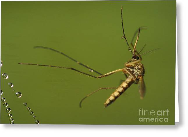 Sweating Photographs Greeting Cards - Mosquito Greeting Card by Odon Czintos