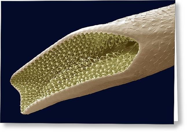 Pupa Greeting Cards - Mosquito Pupa Respiratory Tube, Sem Greeting Card by Steve Gschmeissner