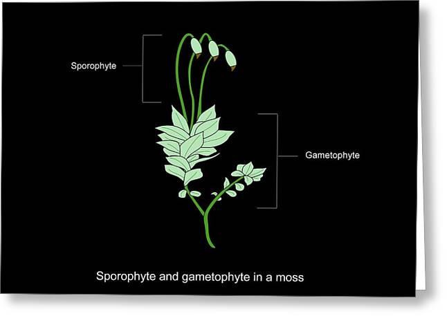 Plant Anatomy Greeting Cards - Moss Anatomy, Artwork Greeting Card by Francis Leroy, Biocosmos