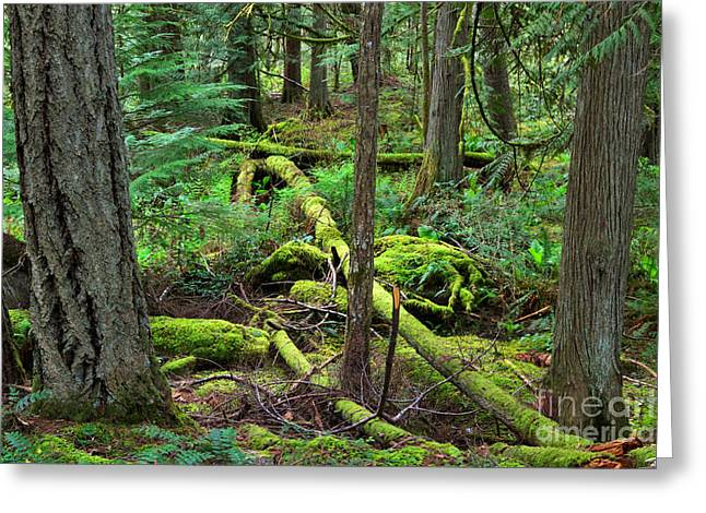 Dappled Sunlight Greeting Cards - Moss and fallen trees in the rainforest of the Pacific Northwest Greeting Card by Louise Heusinkveld