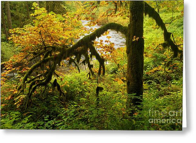 Silver Falls Greeting Cards - Moss In The Forest Greeting Card by Adam Jewell