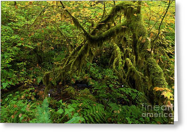 Silver Falls State Park Greeting Cards - Moss In The Rainforest Greeting Card by Adam Jewell