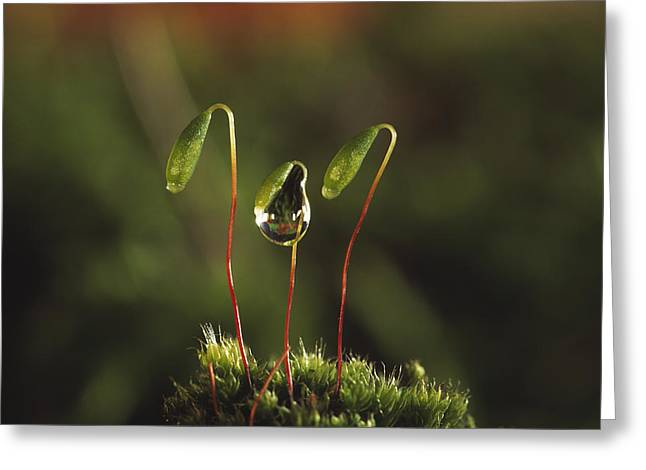 Capsule Greeting Cards - Moss Spore Capsules Greeting Card by Andy Harmer