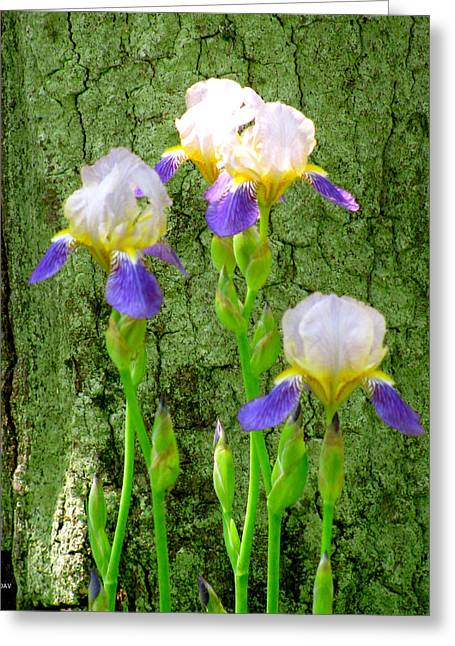 Best Sellers -  - Pinks And Purple Petals Photographs Greeting Cards - Moss Tree Iris Greeting Card by Debra     Vatalaro