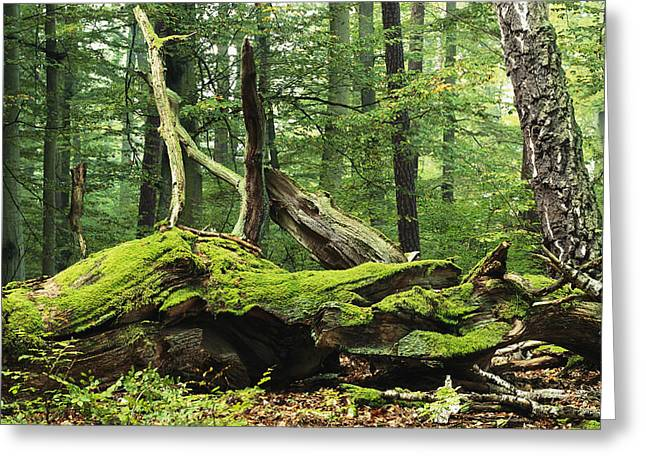 Plant Growth And Decay Greeting Cards - Mosses Growing On Dead Tree, Muritz Greeting Card by Norbert Rosing