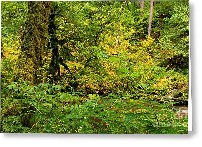 Silver Falls State Park Greeting Cards - Mossy Rainforest Greeting Card by Adam Jewell