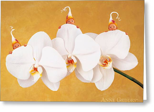 Triplets Greeting Cards - Moth Orchid Triplets Greeting Card by Anne Geddes