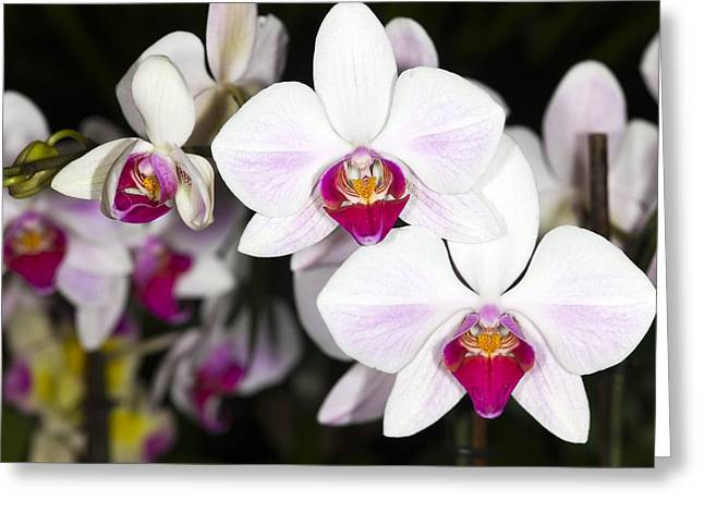 Epiphyte Greeting Cards - Moth Orchids Greeting Card by Dr Keith Wheeler
