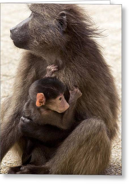 Caring Mother Greeting Cards - Mother And Baby Chacma Baboon Greeting Card by Bob Gibbons